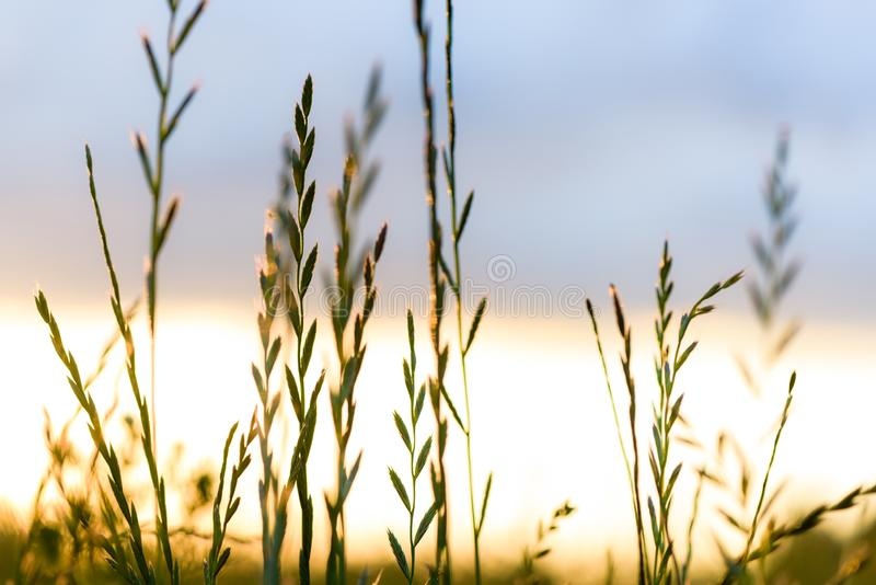Evening on the field of grass close-up in the sunset light. Summer flowers on the meadow stock image