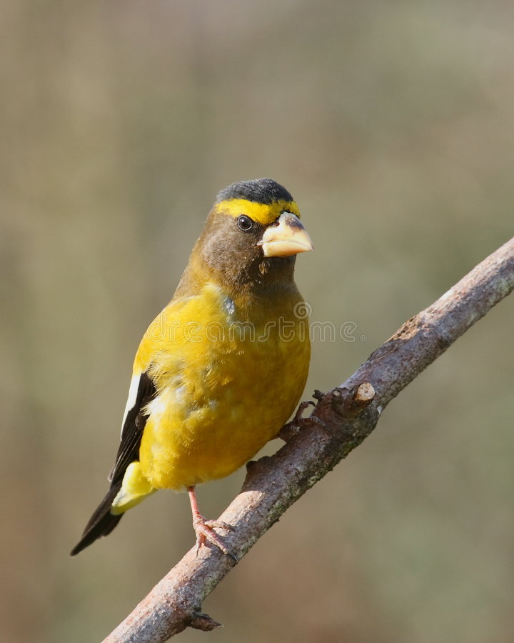 Evening Grosbeak stock photo