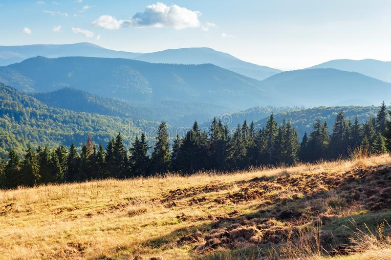 Evening landscape in apuseni mountains. Weathered grass on the meadow in golden evening light. row of spruce trees on the edge of a hill. mountain ridge in the royalty free stock photo