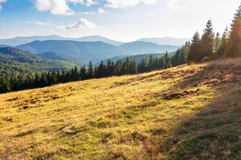 Evening landscape in apuseni mountains. Weathered grass on the meadow in golden evening light. row of spruce trees on the edge of a hill. mountain ridge in the stock images