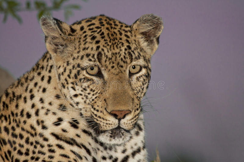 Evening Leopard stock images