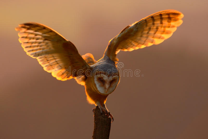 Evening light with bird with open wings. Action scene with owl. Owl sunset. Barn owl landing with spread wings on tree stump at th stock photography