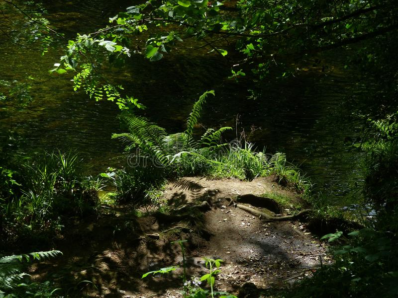 Evening light, with ferns. A river bank, with ferns in evening light, framed by drooping tree branches and rough soil with tree roots royalty free stock image