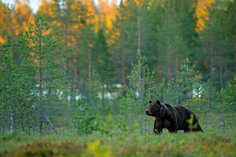 Evening light in taiga with bear. Dangerous animal in nature forest and meadow habitat. Wildlife scene from Finland near Russian. Border royalty free stock image