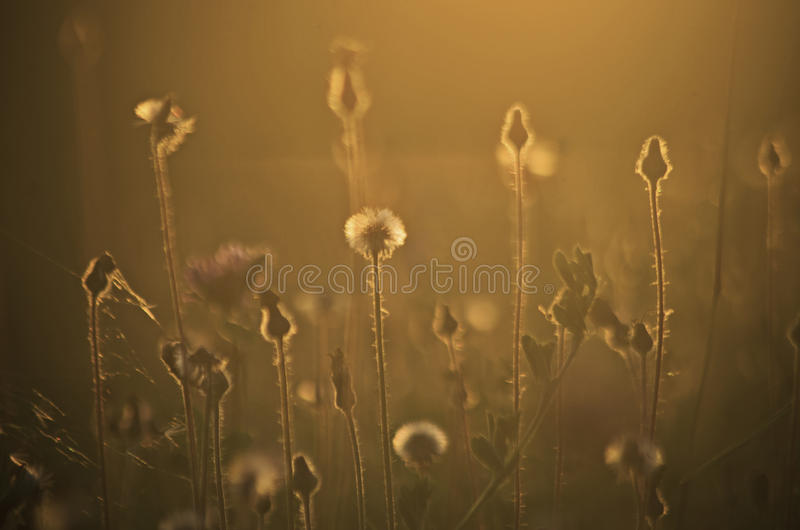 Evening meadow close up. Grass in evening light in June royalty free stock images