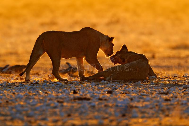 Evening orange sunset in Africa. Lions, portrait of pair of African lions, Panthera leo, detail of big animals, Etocha NP, Namibia. In south Africa. Cats in stock images