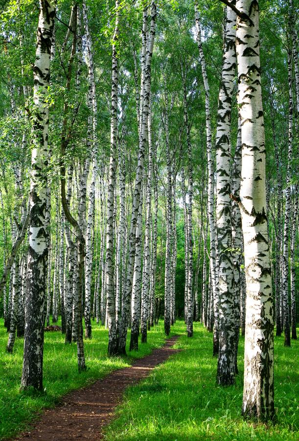 Evening pathway in the summer birch forest royalty free stock photos