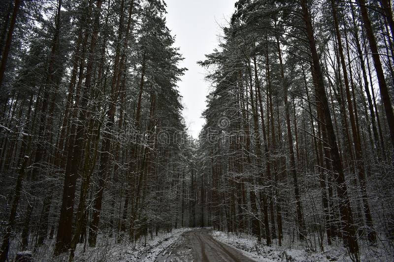 Evening in the pine forest white carpet covered the road. Snowflakes quietly fall to the ground, then in the form of stars, then royalty free stock image