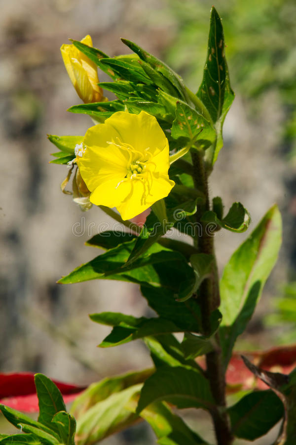 Download Evening Primrose stock photo. Image of flora, oenothera - 76426066