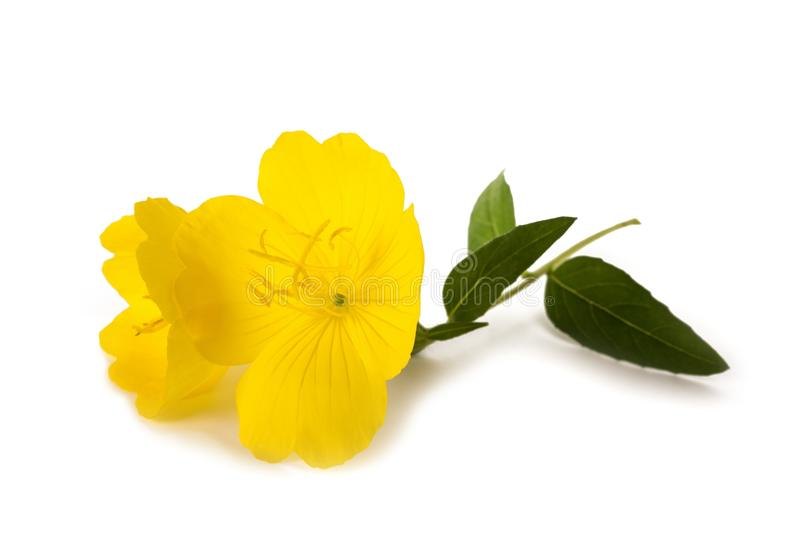 Evening primrose stock photos