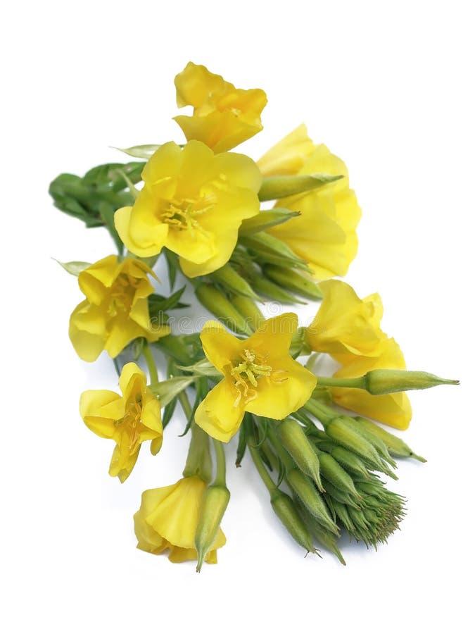 Evening primrose (Oenothera biennis) stock photography