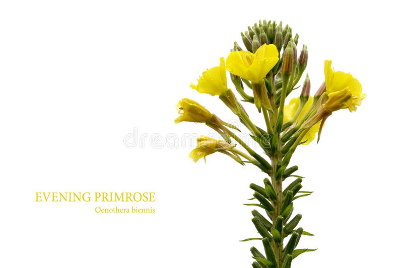 Evening primrose (Oenothera biennis) isolated on white stock image