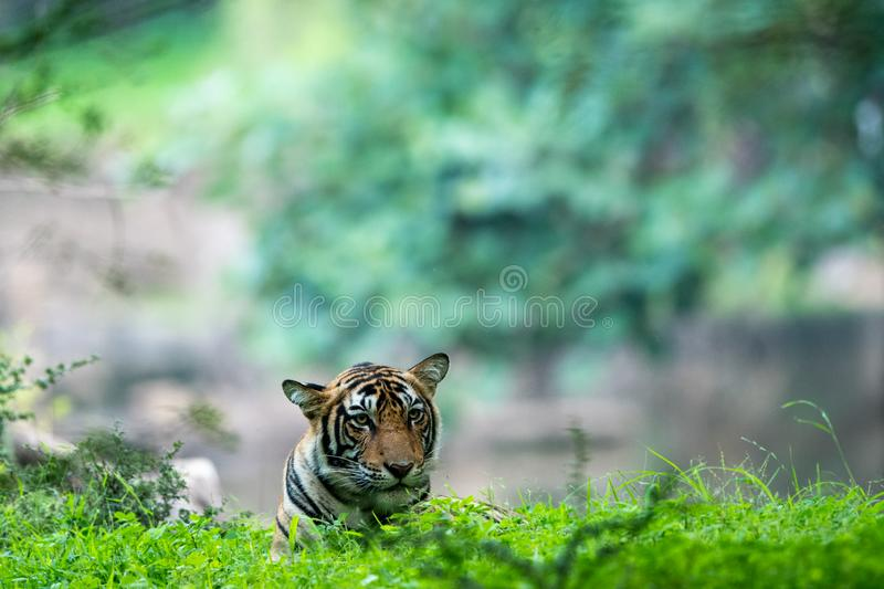 Handsome and wild male tiger panthera tigris sighted in green background after heavy rains at Ranthambore. In an evening safari to buffer zone during monsoon royalty free stock photos
