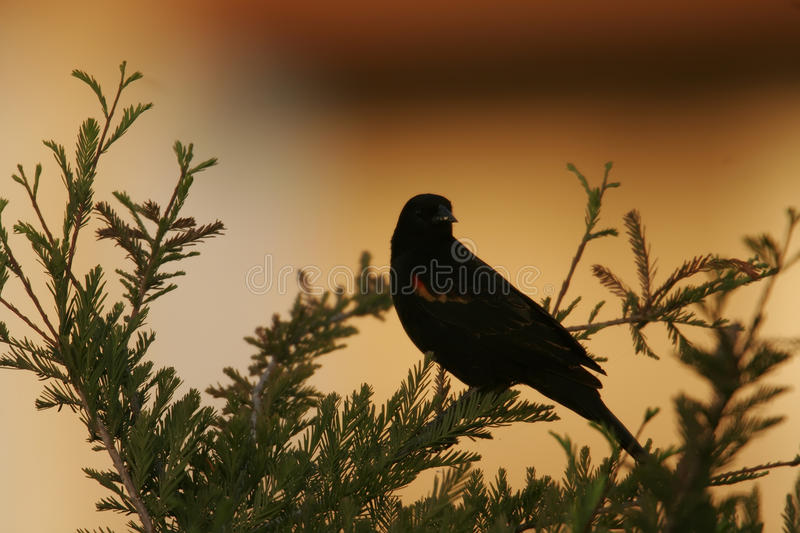 Download Evening song stock photo. Image of marshes, winged, wildlife - 20161038
