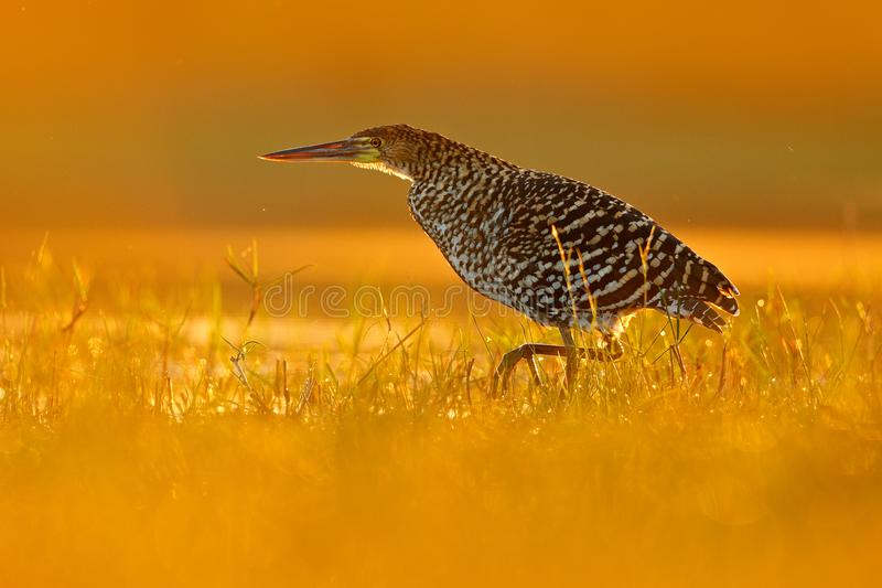 Evening sun, Rufescent Tiger-Heron, Tigrisoma lineatum, motteled bird with evening back light, in the nature habitat, Pantanal, Br stock images
