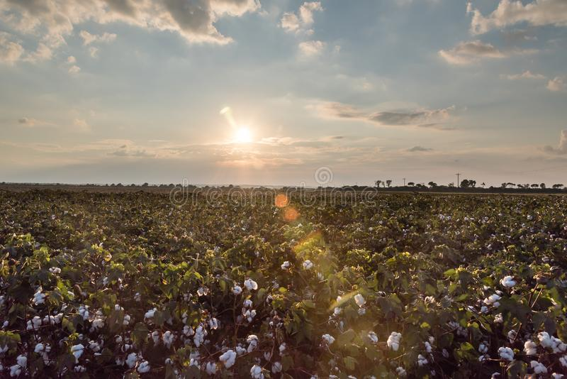 Evening Sun and Sunflares over Green Cotton Field. The sun is close to setting on a cotton field filled with white cotton bolls, green leaves, and pink closed stock photos