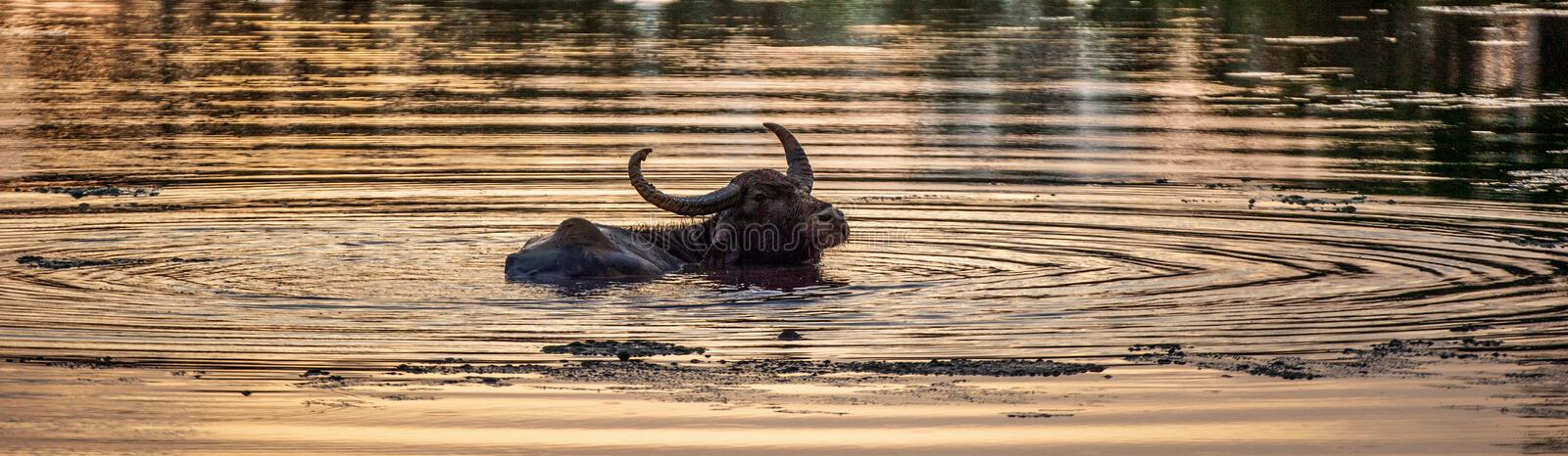 Silhouette of water buffalo in a pond with a reflection of a sunlight on water . royalty free stock photo