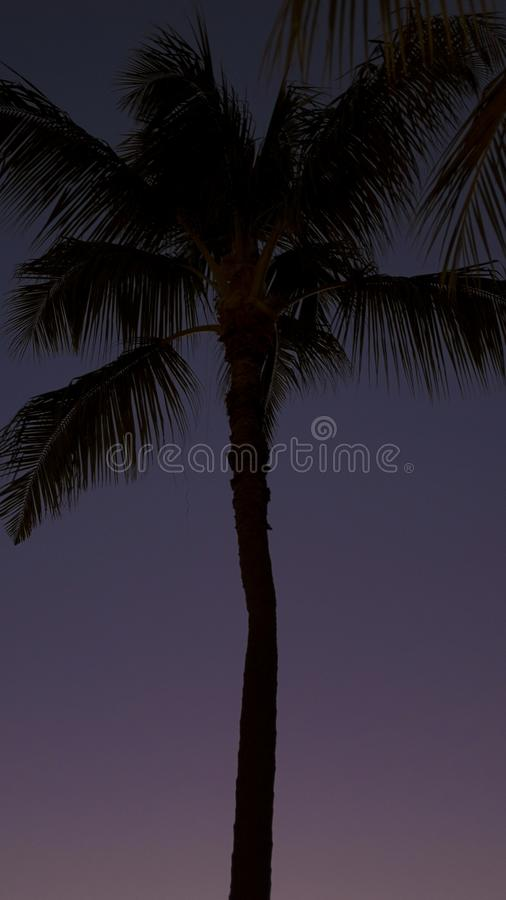 Evening tropical sky with silhouetted, ghostly coconut palm tree in Honolulu, Oahu Island, Hawaii. Vertical cropped shot of exotic coconut palm tree, concept for stock photos