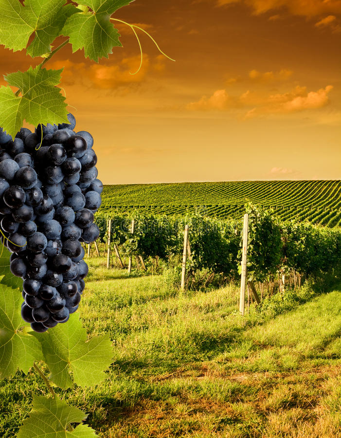 Free Evening View Of The Vineyards Royalty Free Stock Photo - 23420135