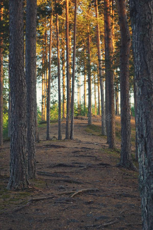 Evening walk through the pine forest along the path.  royalty free stock images
