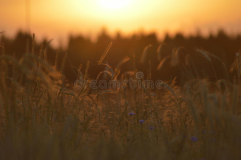 The evening wheat field stock images