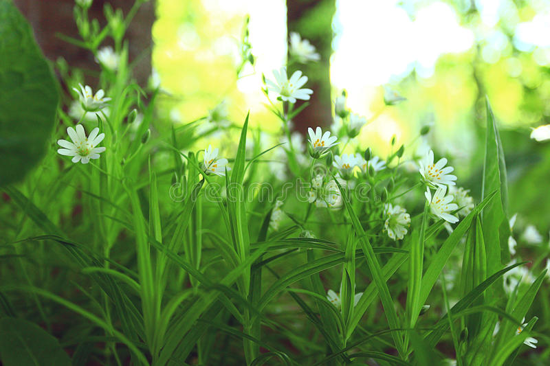 Evening white wild flowers. Evening green grass with white wild flowers royalty free stock photos