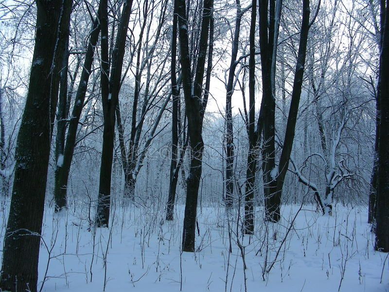 Evening winter forest landscape in the park, two trees stand side by side stock photo