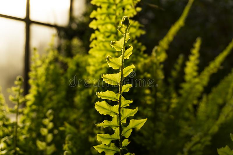 Evening in the winter garden. Leaf fern in evening light on a blurred background of a greenhouse interior stock photography