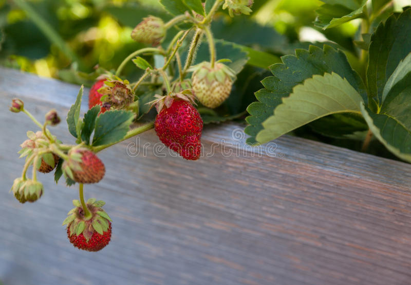 Ever Bering Strawberries. A group of strawberries in various stages of ripeness hang over a wooden board of a raised garden bed royalty free stock images