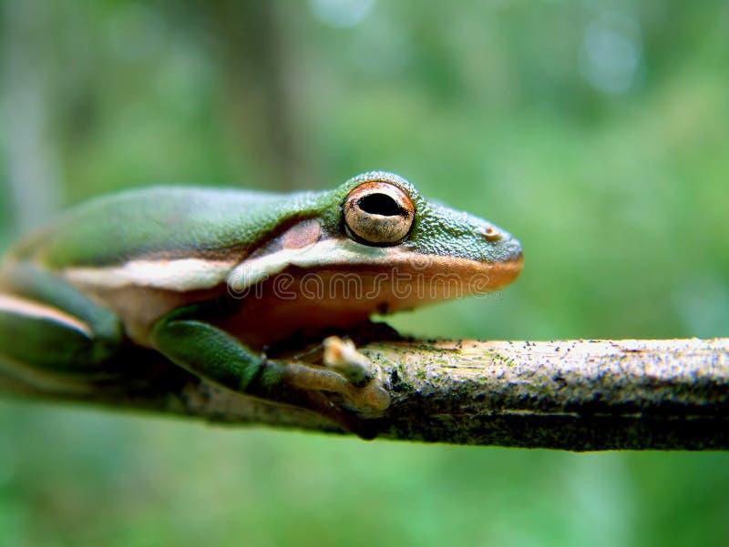 everglades βάτραχος στοκ εικόνα