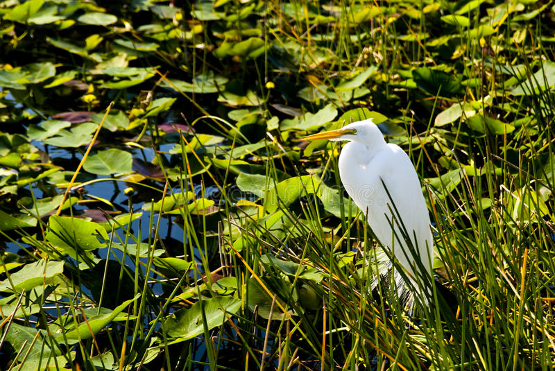 Everglades National Park. White bird at Everglades National Park with lily pads background - Florida USA 2010 royalty free stock photo