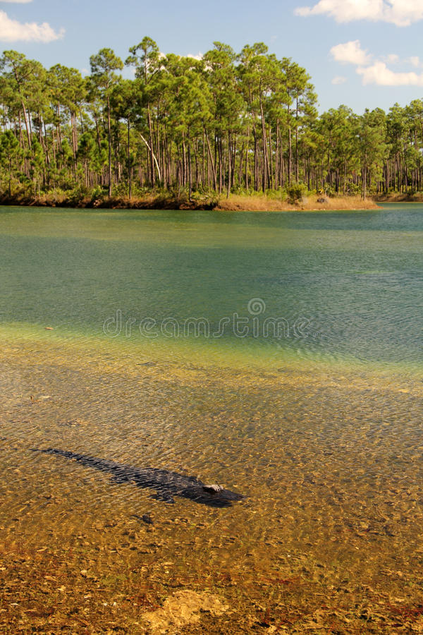 Everglades National Park. Alligator in Everglades National Park, South Florida stock photography