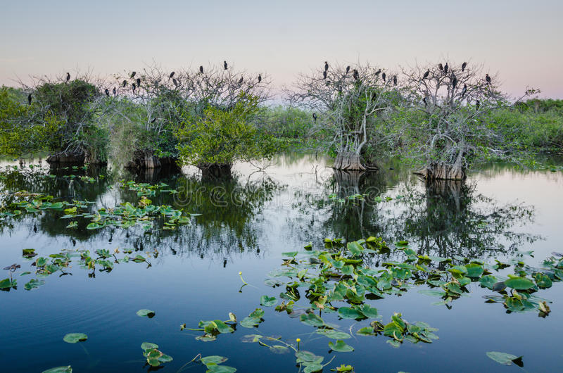 Everglades National Park. Anhinga birds roosting on trees at Taylor Slough in Everglades National Park in Southern Florida stock photo