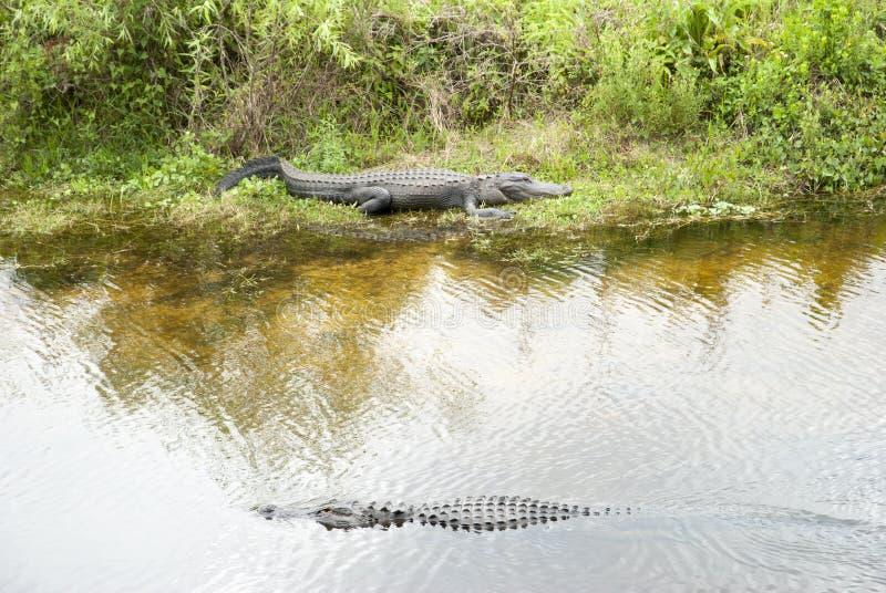 Everglades parkerar alligatorer arkivbild