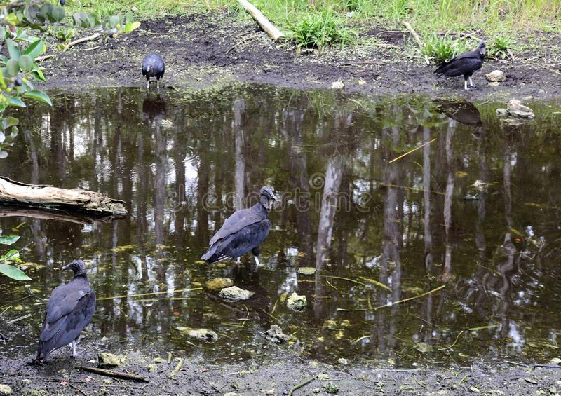 Everglades vultures resting at water hole. Everglades vulture vultures waterhole Florida swamp Monroe junction reflection pond water wildlife landscape nature royalty free stock image