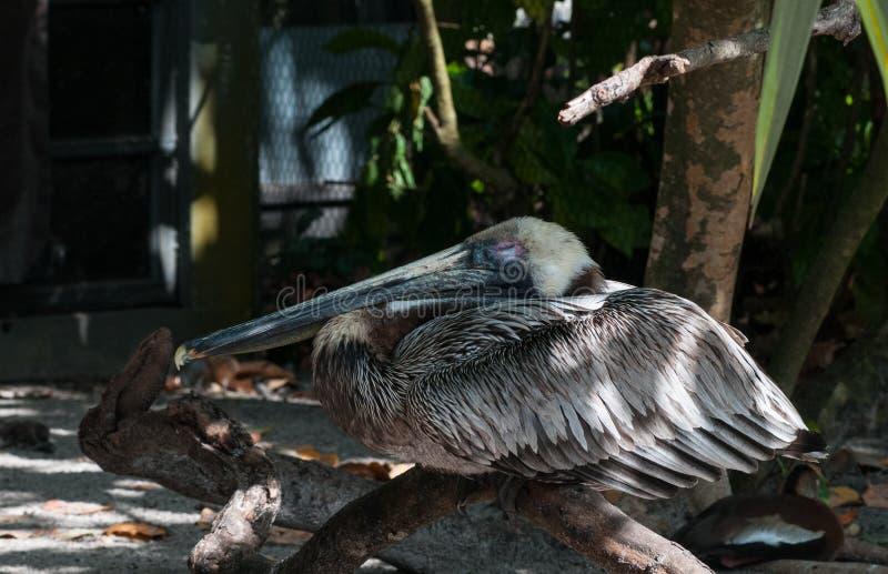 Evergladespelikan arkivfoton