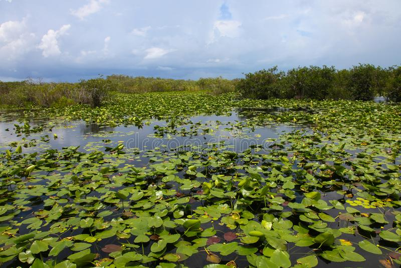 Evergladeswater Lillies, Florida de V.S. stock foto