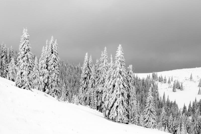 evergreen śnieg zdjęcia stock