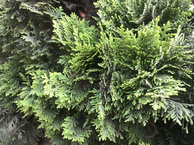evergreen стоковое фото rf