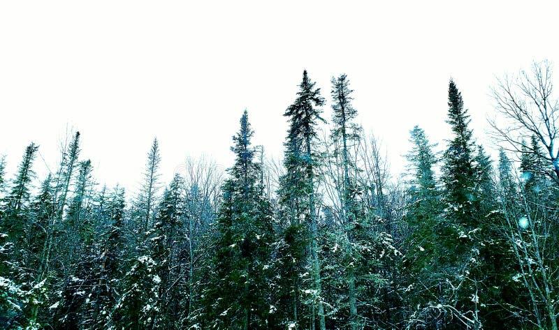 Evergreen fotos de stock royalty free