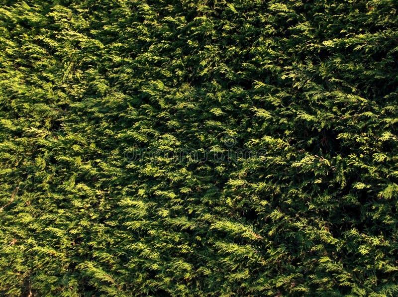 Evergreen Free Stock Photos