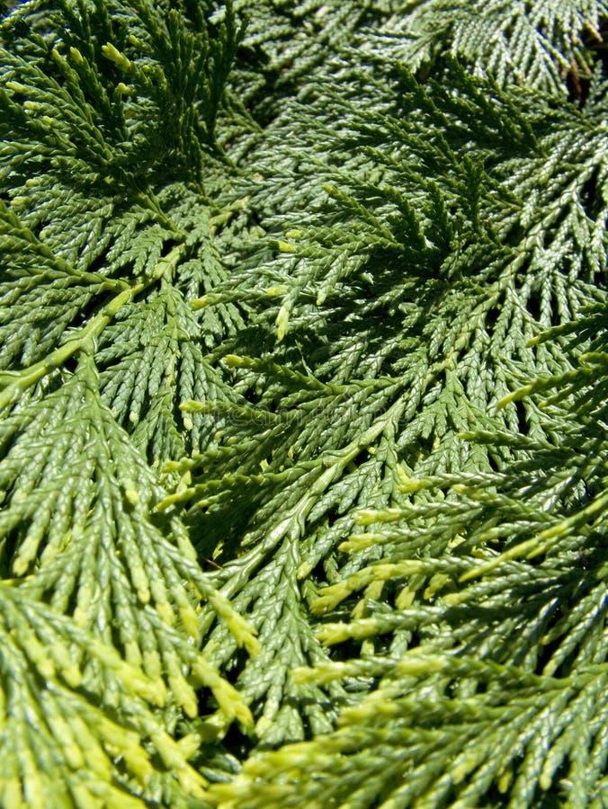 Free Evergreen Royalty Free Stock Image - 844576