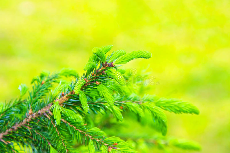 Download Evergreen branch stock photo. Image of vegetation, green - 11158308