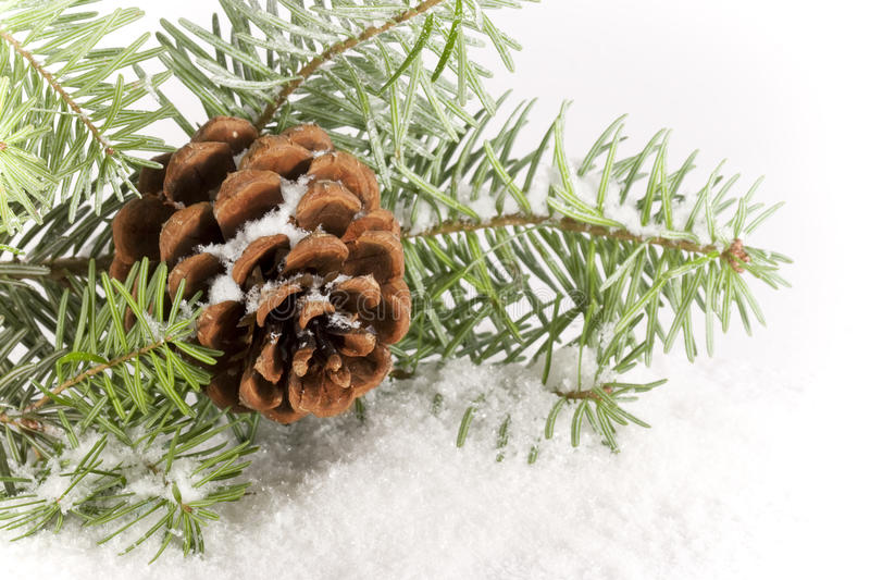 Evergreen Branch with Cone royalty free stock images