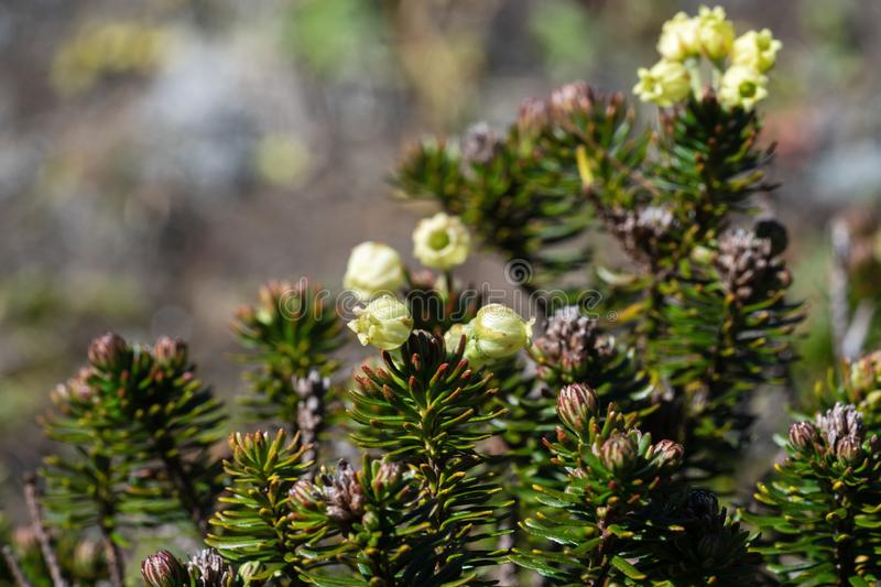 Evergreen branched shrub Siberian Juniper Juniperus sibirica. Siberian Juniper Juniperus sibirica Burgsd - low small evergreen coniferous creeping densely royalty free stock photos