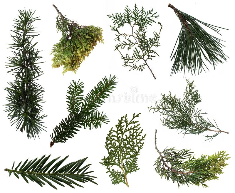 Evergreen branches collection. 9 branches of various plants isolated on white background. PNG file with full transparency is available as additional format stock images