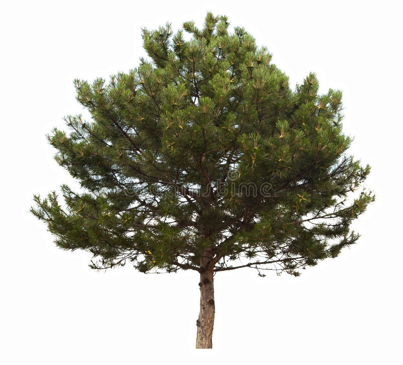 Download Evergreen coniferous tree stock photo. Image of tree - 25663664