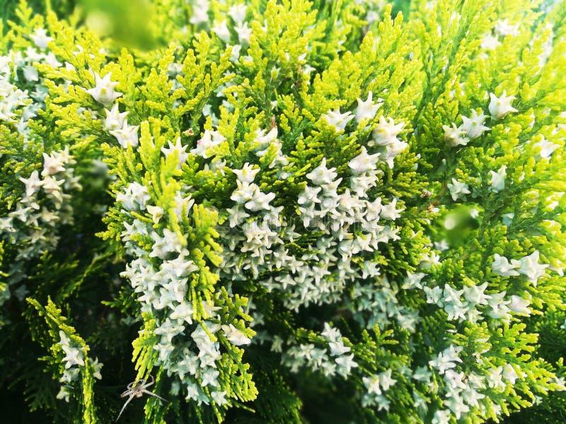 Evergreen decorative fir tree. Blossom stock photo