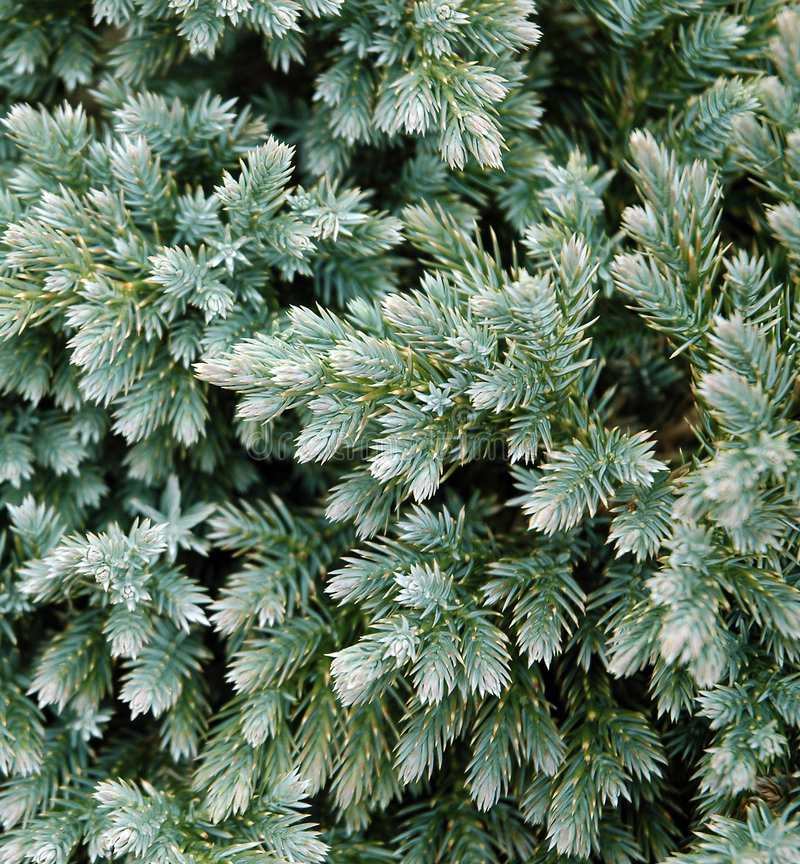Evergreen Details stock photos