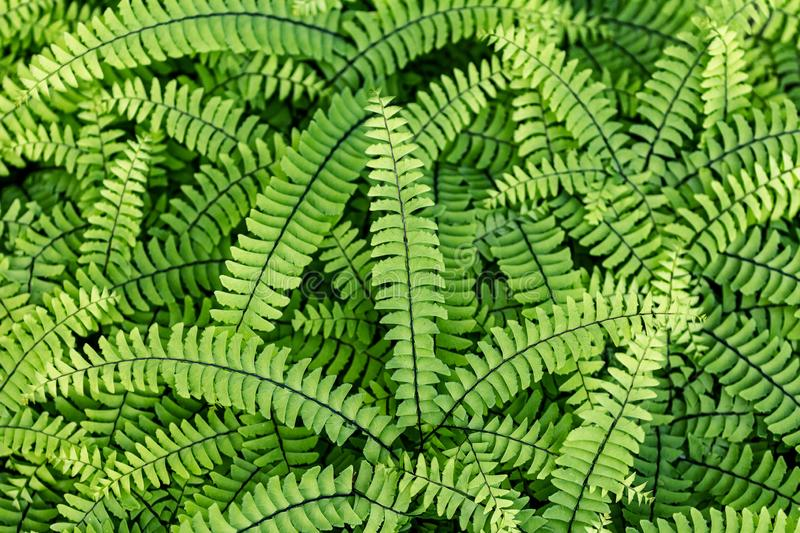 Evergreen fern leaves.  dark green foliage background for design. Sweet fern - Polypódium vulgáre royalty free stock image